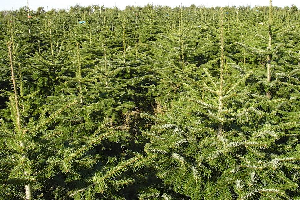 Juletræer Nordmannsgran Hillerød Staudegartneri