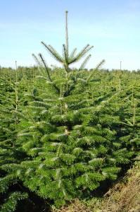 Juletræer H 6.10.2007 002