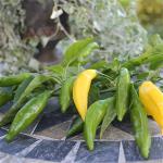 Sommerplanter i Hillerød - Citron Aji Limon Chili (styrke 7)