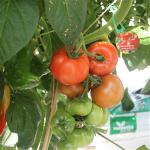 Sommerplanter i Hillerød - Elin tomat