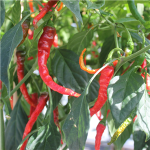 Long slim Cayenne chili (styrke 6)