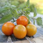 Sommerplanter i Hillerød - Sungold orange cherry tomat