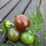 Sommerplanter i Hillerød - Tiger coktail tomat