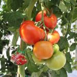 Sommerplanter i Hillerød - Isabella tomat