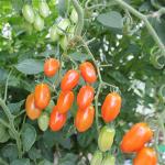 Sommerplanter i Hillerød - Santalina mini blomme tomat