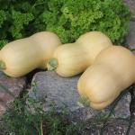 Sommerplanter i Hillerød - Butternut Squash