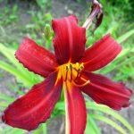 Stauder Hemerocallis hyb. 'Crimson pirat