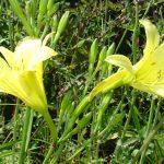 Stauder Hemerocallis hyb. 'Flava'